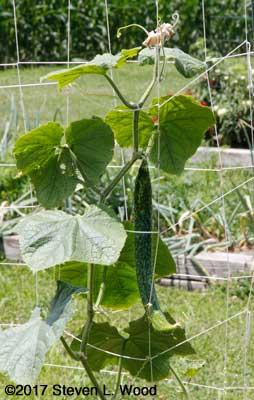 Immature Japanese Long Pickling cucumber