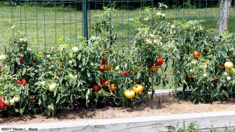 Earlirouge plants filled with tomatoes