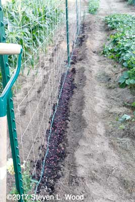 Row seeded to peas