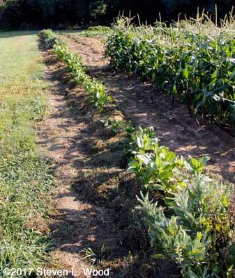 Mulched row of zinnias