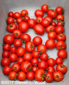 Earlirouge tomatoes