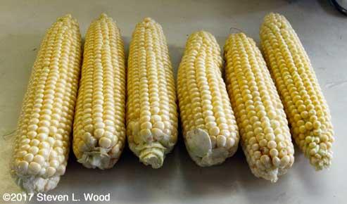 Early sweet corn