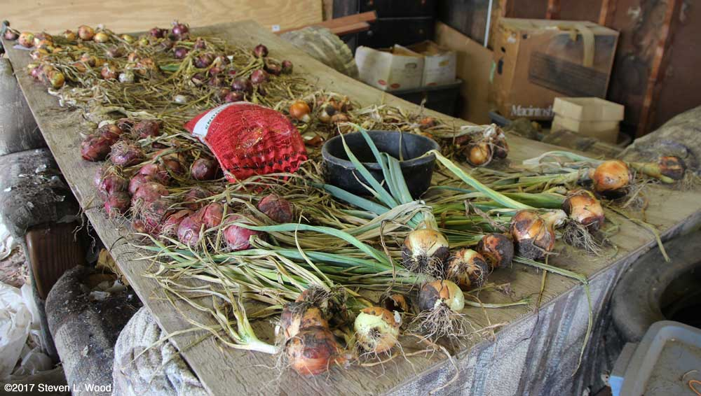 Onions curing in garage