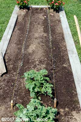 Raised bed planted to kale