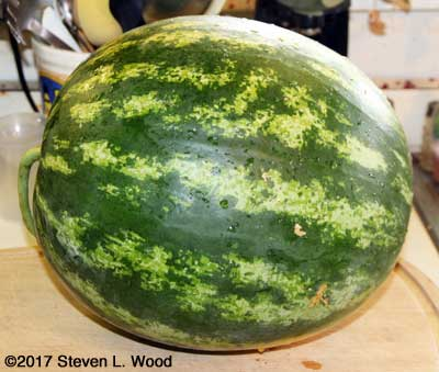 Twenty pound Farmers Wonderful watermelon