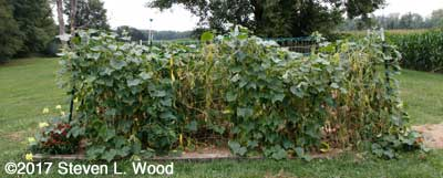Japanese Long Pickling cucumber vines