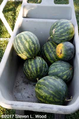 Watermelon for the food bank