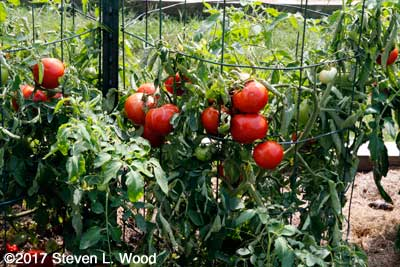 Clusters of Earlirouge tomatoes