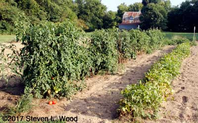 Row of tomato and pepper plants