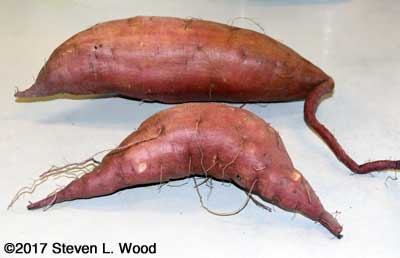First sweet potatoes
