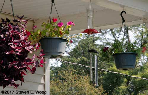 Hummingbird at feeder amongst hanging baskets