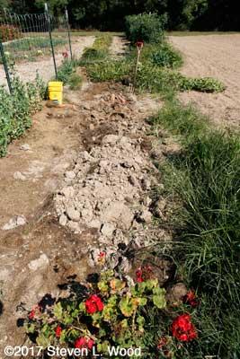 Digging row of sweet potatoes
