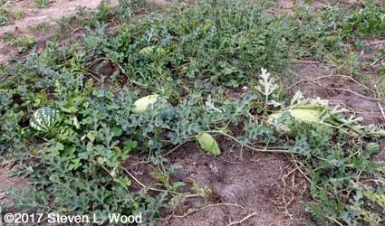 Old melon vines still producing