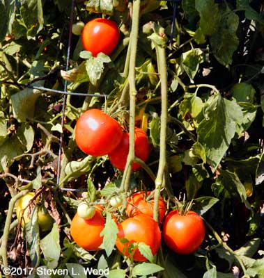 Clusters of Quinte tomatoes