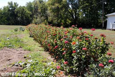 Our row of zinnias - September 30, 2017