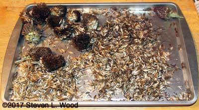 Processing zinnia seed