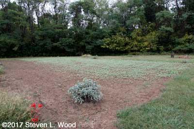 Volunteer buckwheat in East Garden