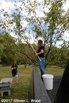 Anne and Katherine working the apple tree