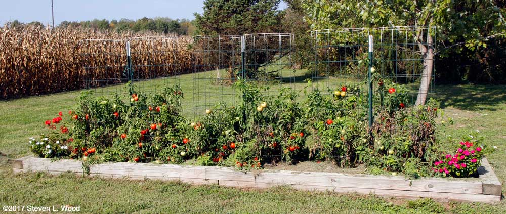 Earlirouge tomatoes still producing in mid-October