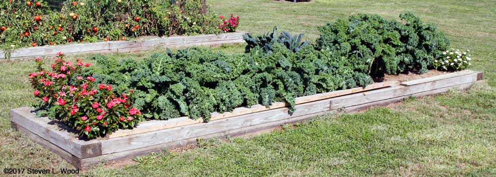 Kale ready for picking