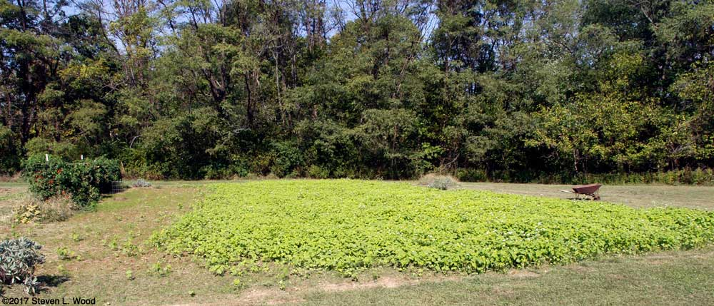 Volunteer buckwheat overgrowing hairy winter vetch