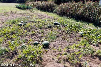 Watermelon still growing in the East Garden in October!