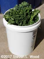 Five gallon bucket gently packet with kale leaves