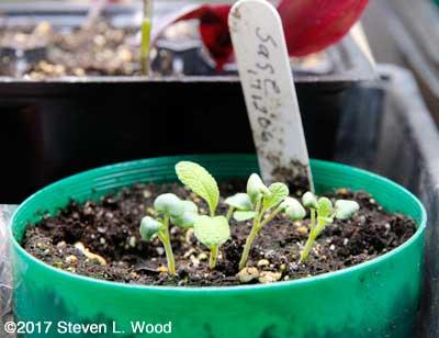 Baby sage plants