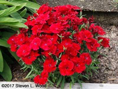 Dianthus in herb garden