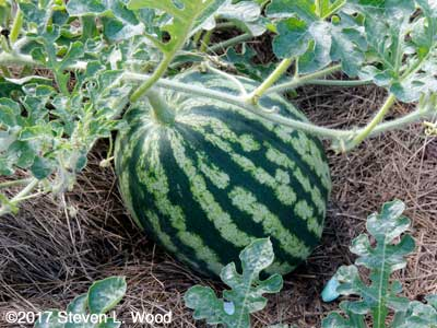 Mama's Girl Hybrid watermelon