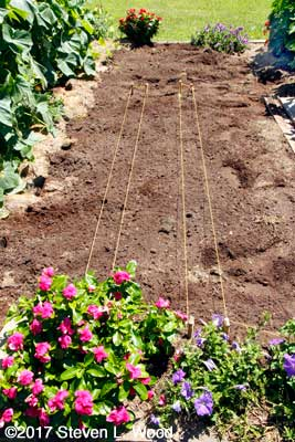 Planting fall carrots amid established flowers and crops