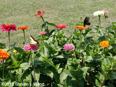 Butterflies on zinnias