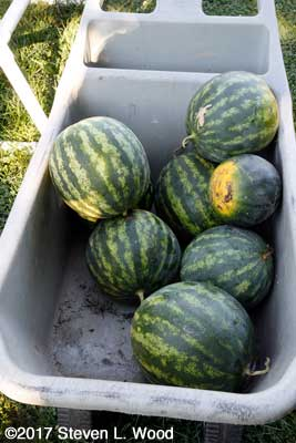 Watermelons for the food bank