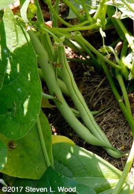Early green beans