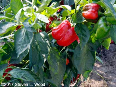 Fall Earliest Red Sweet peppers