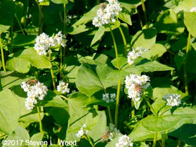 Honeybees on buckwheat blooms