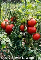 Clusters of Earlirouge tomatoes