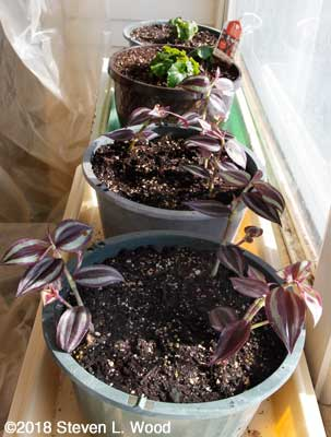 Wandering jew and wax begonia plants in sunroom