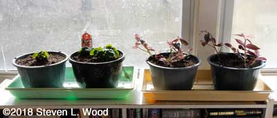 Wax begonias and wandering jew plants in sunroom