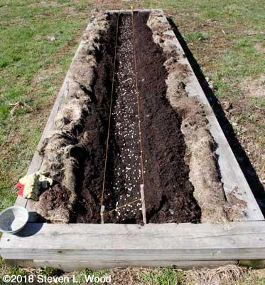 Pea seed in furrow