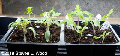 Earlirouge tomato transplants