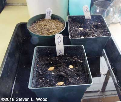 Starting yellow squash and re-seeding dwart basil