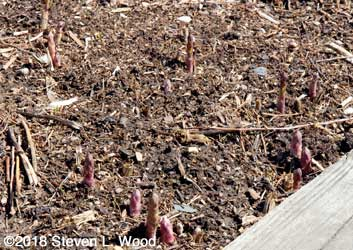 Asparagus slowly growing