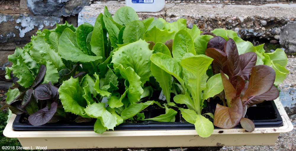 Tray of lettuce transplants