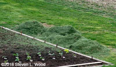 Grass clippings piled by main raised bed