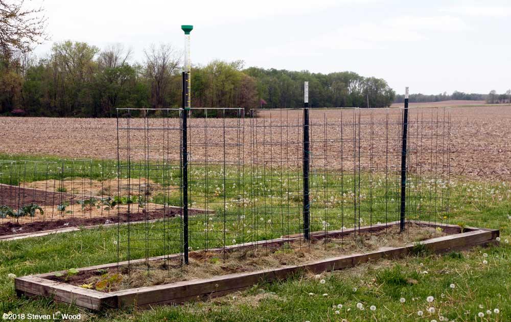 Earlirouge tomatoes planted