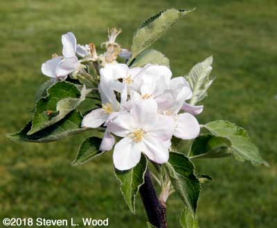 Blooms on young apple tree