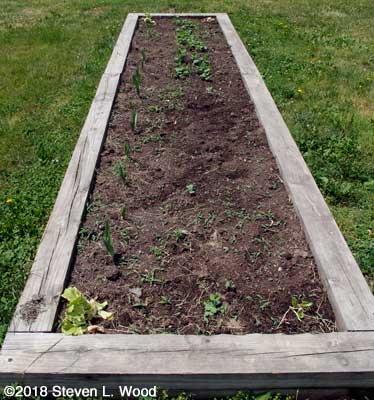 Weedy garlic and pea bed