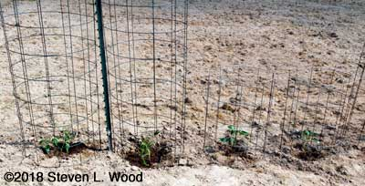 Caged tomatoes and peppers