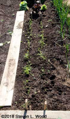Radishes pulled revealing carrots